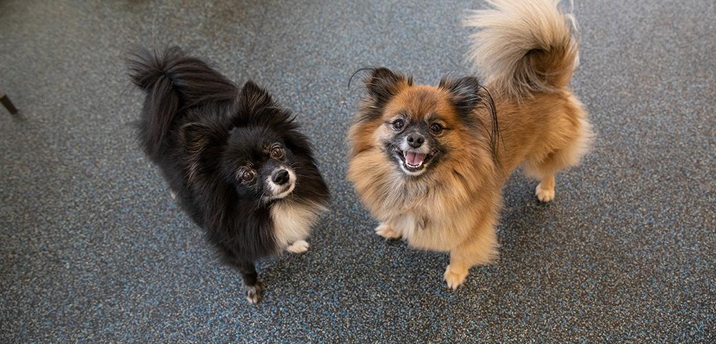two Pomeranians