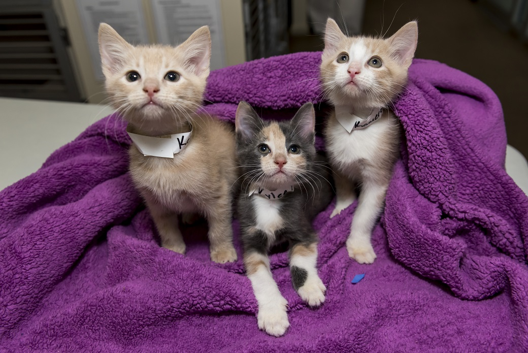 Three kittens in a blanket