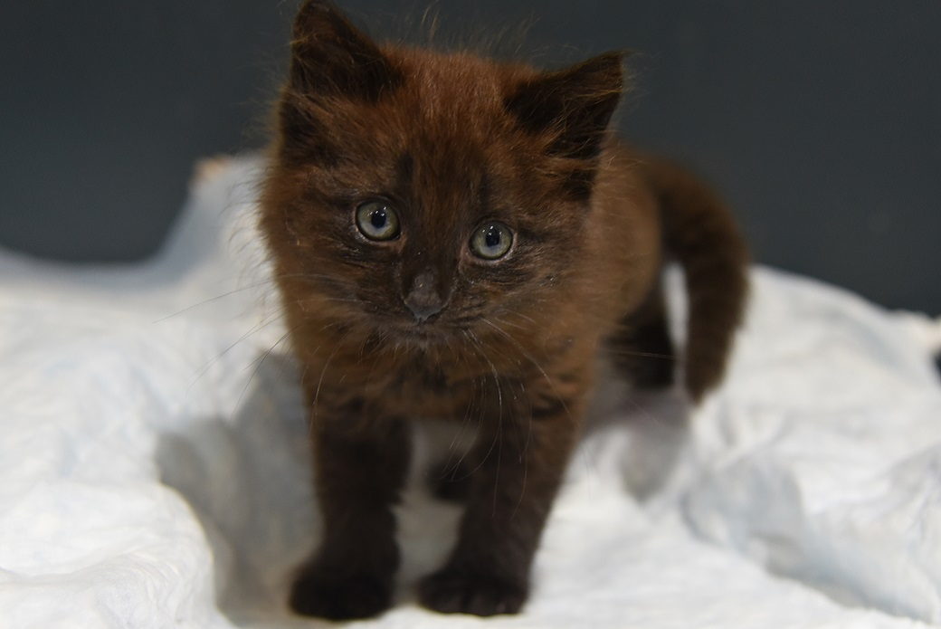 Brown kitten looking at camera