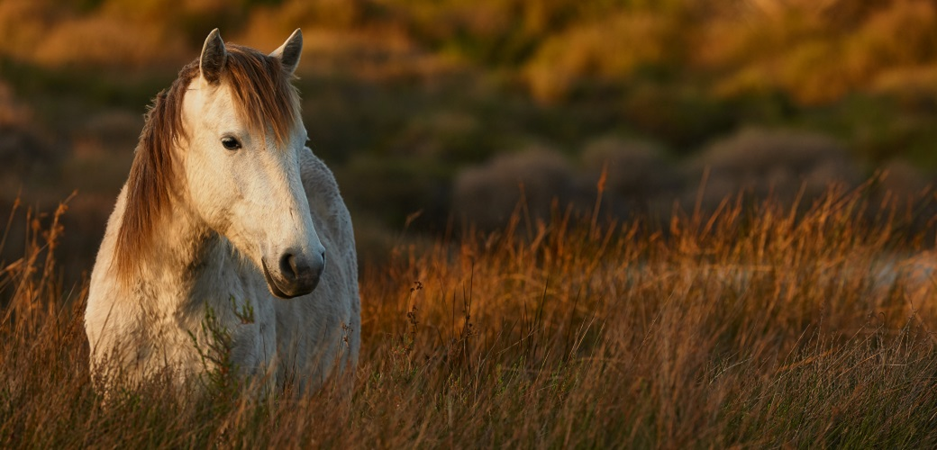 The Deadly Threat to Our Wild Horses