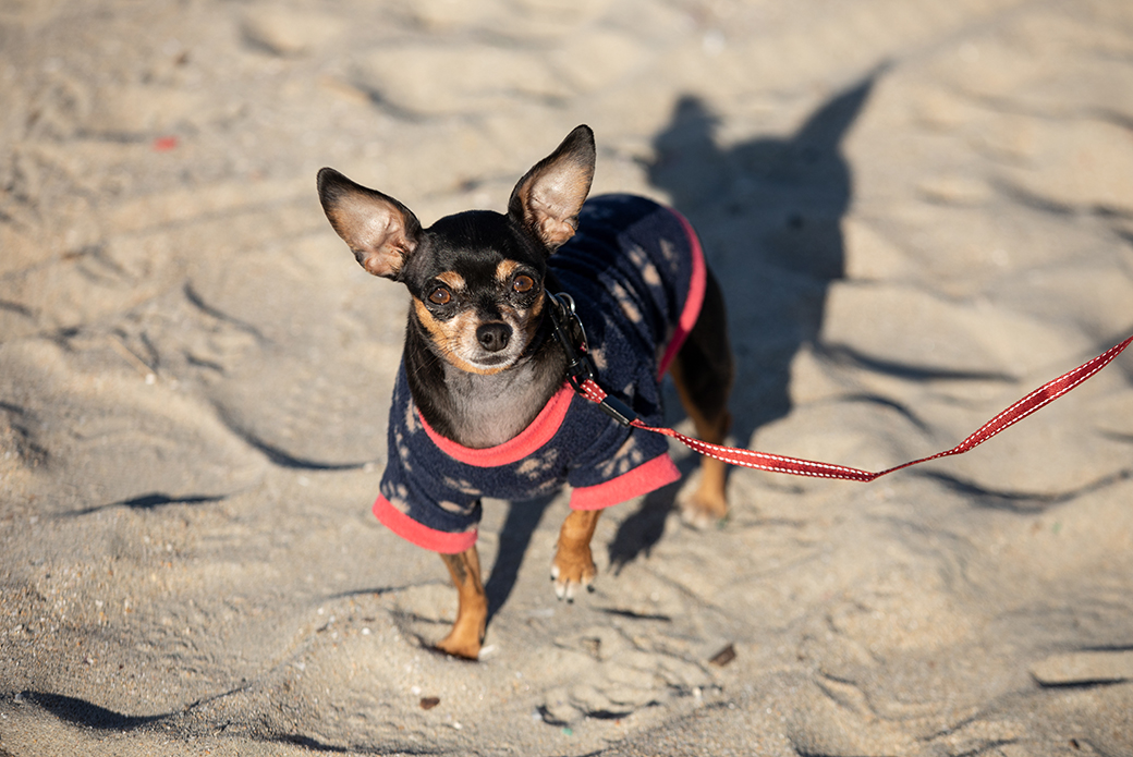 a chihuahua on the beach