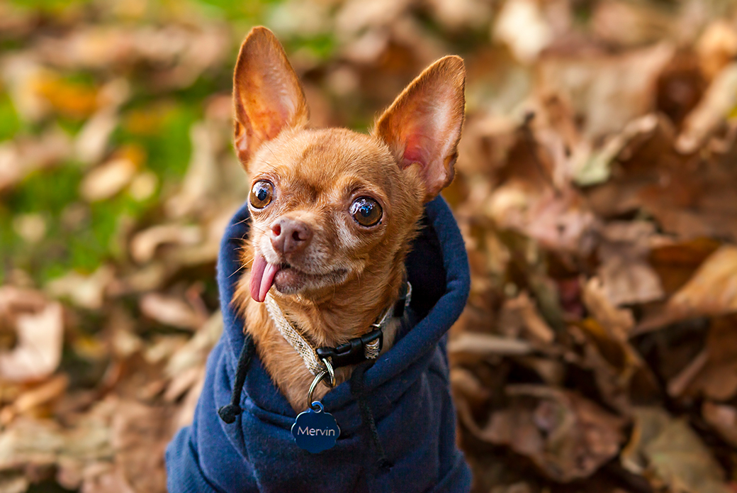a chihuahua in a blue sweater in fall leaves