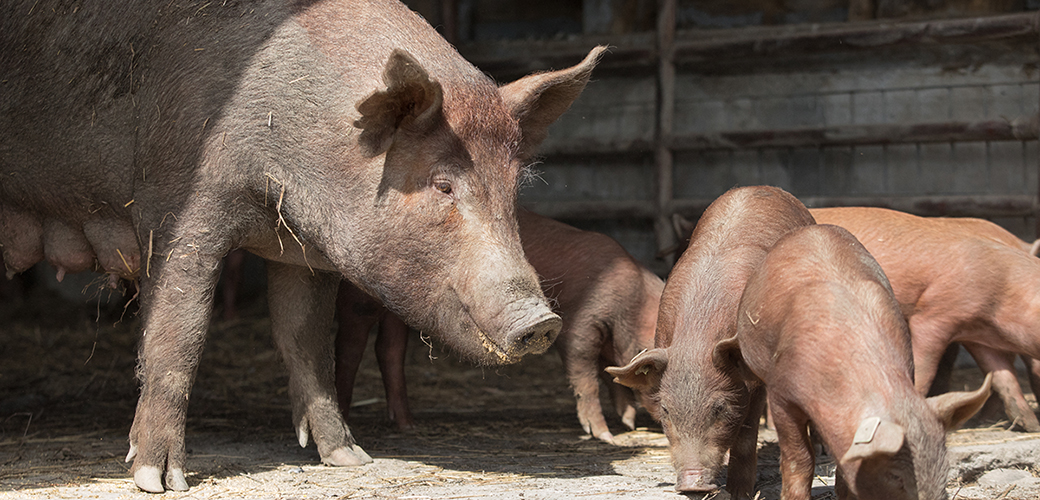 a sow with her piglets