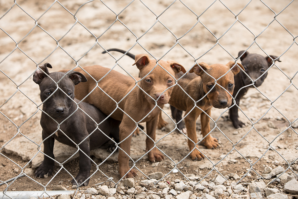pitbull puppies