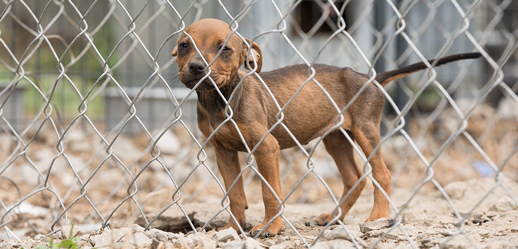 a pitbull puppy