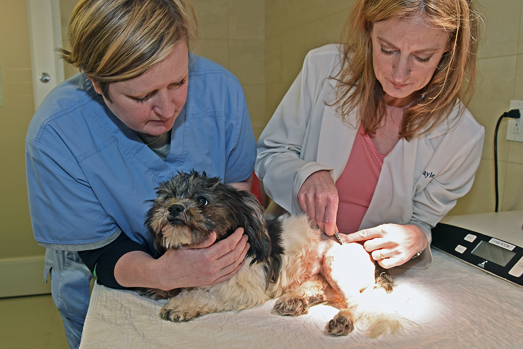 Dr Gayle removing Bella's staples