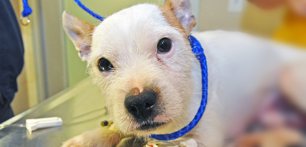 "Affectionate Pup ""Romeo"" Undergoes Life-Saving Hernia Repair at the ASPCA Animal Hospital"