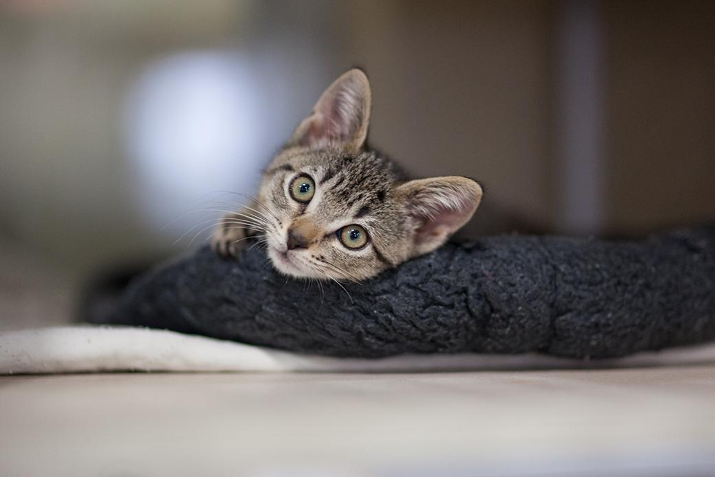 a resting kitten