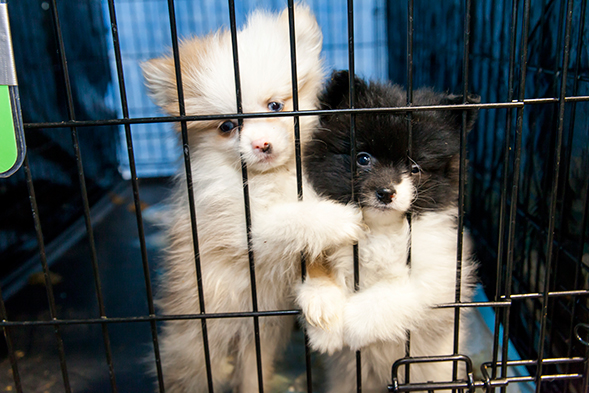 Puppy Mill Breeding Dog Rehabilitation
