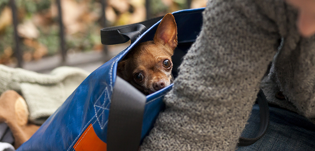 a chihuahua in a bag