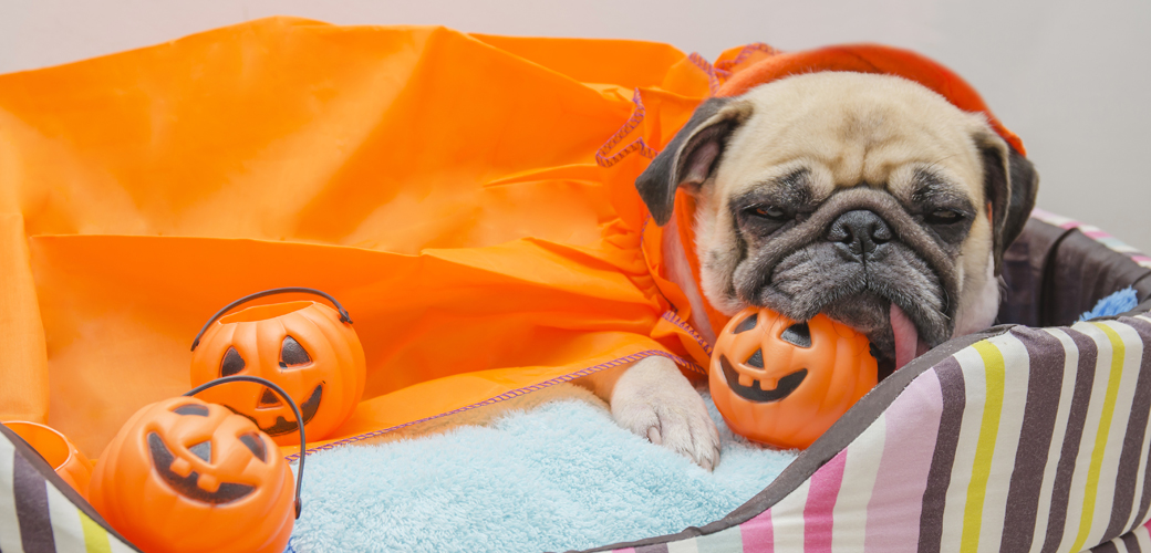 a pug in a halloween costume
