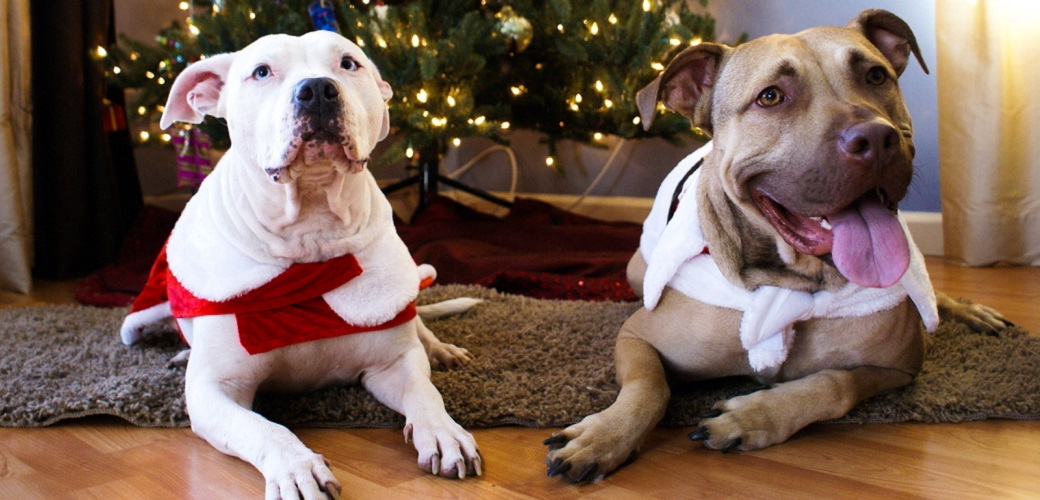 two pitbulls next to a christmas tree