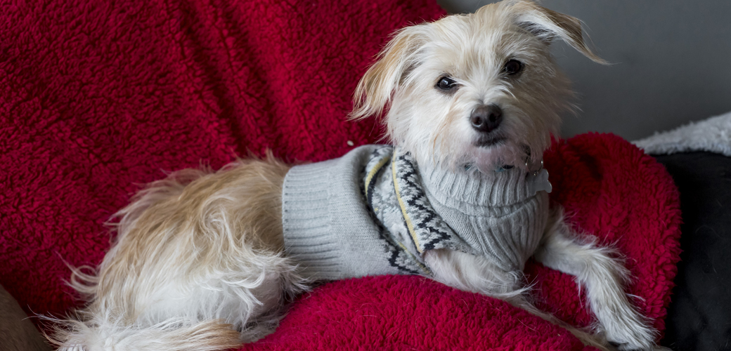 A dog in a sweater on a warm blanket