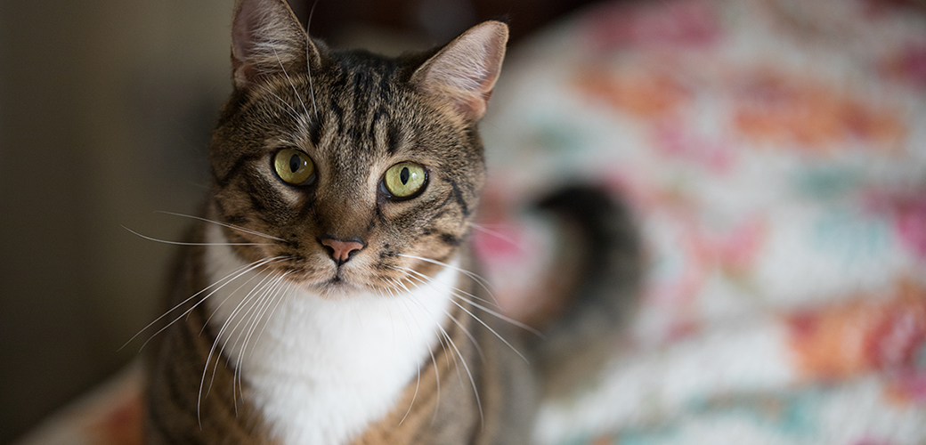a brown and white tabby cat