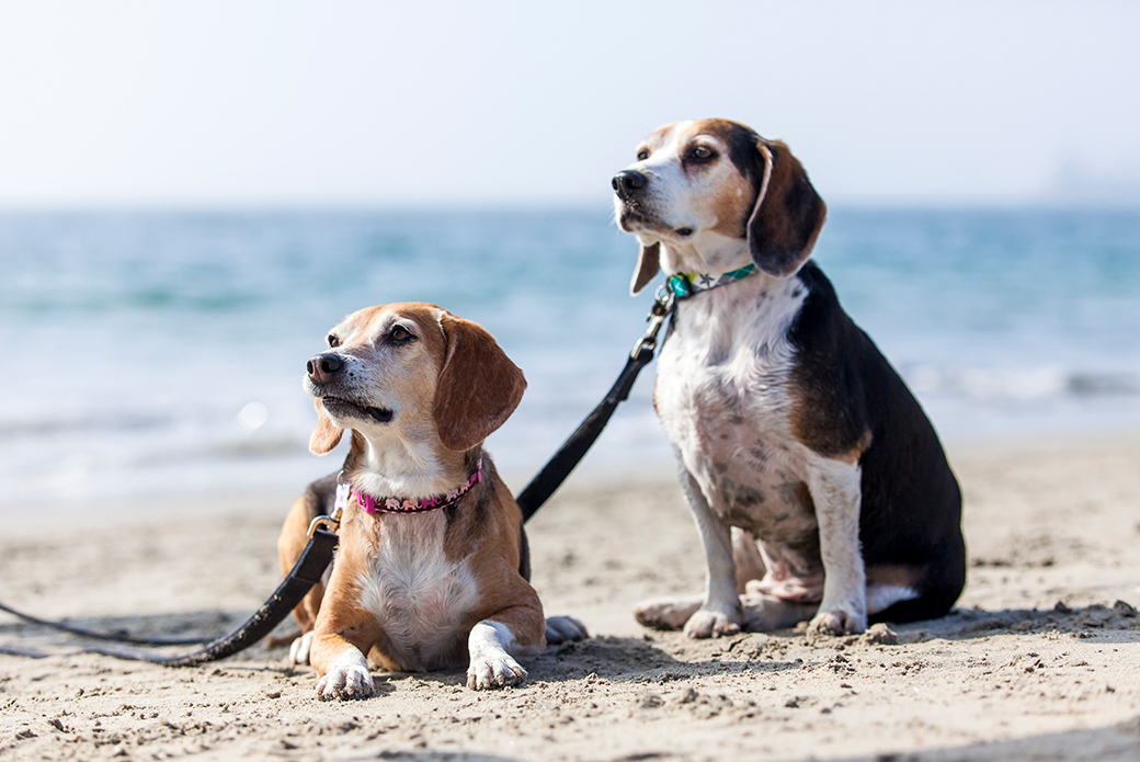 two beagles at the beach