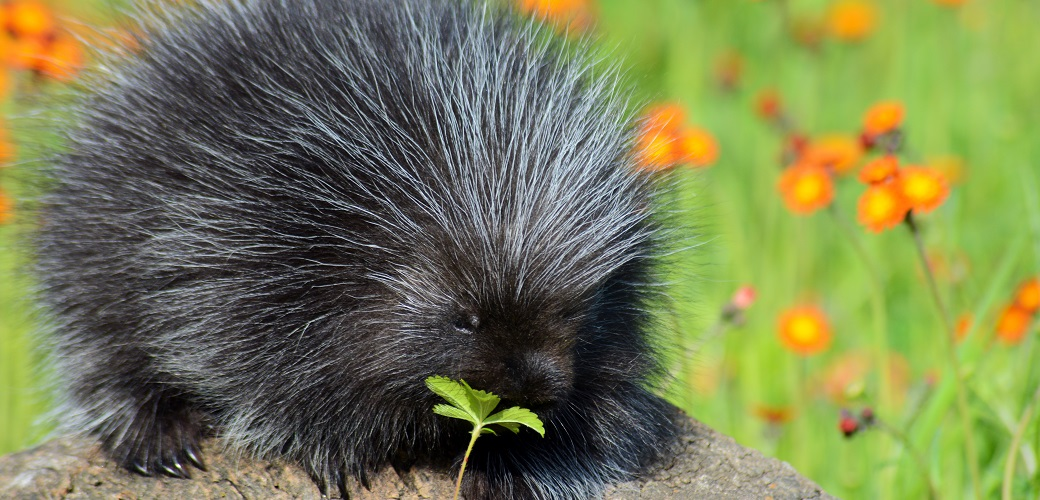 porcupine eating a plant