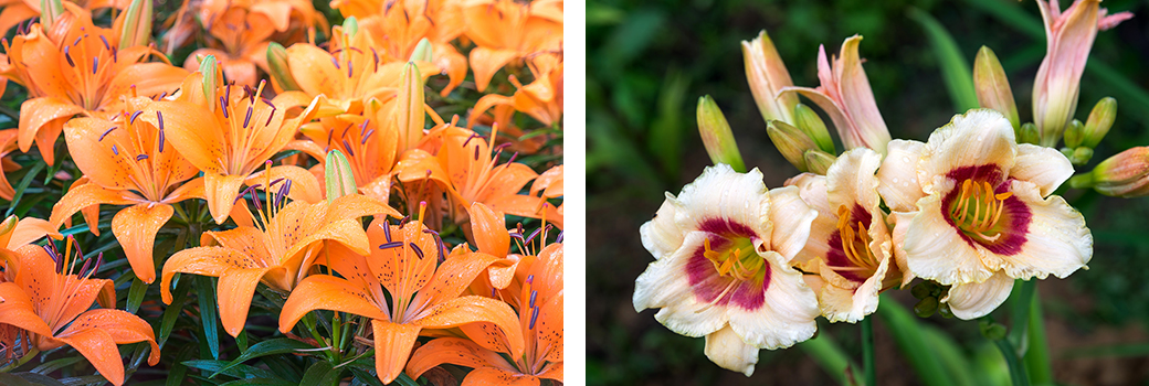 daylillies and asiatic lilies