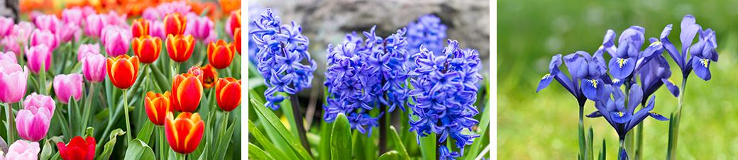 Tulips, Hyacinths, and Irises