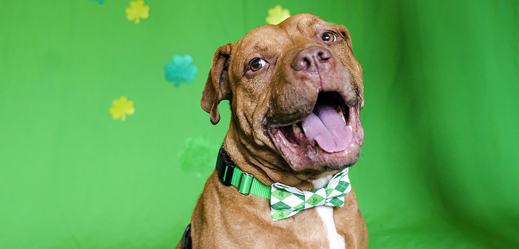 pitbull in a green bowtie