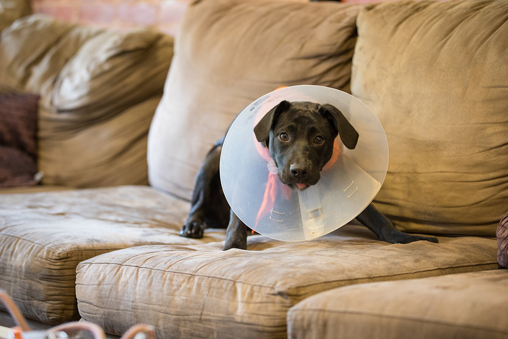 a dog with a cone on a couch