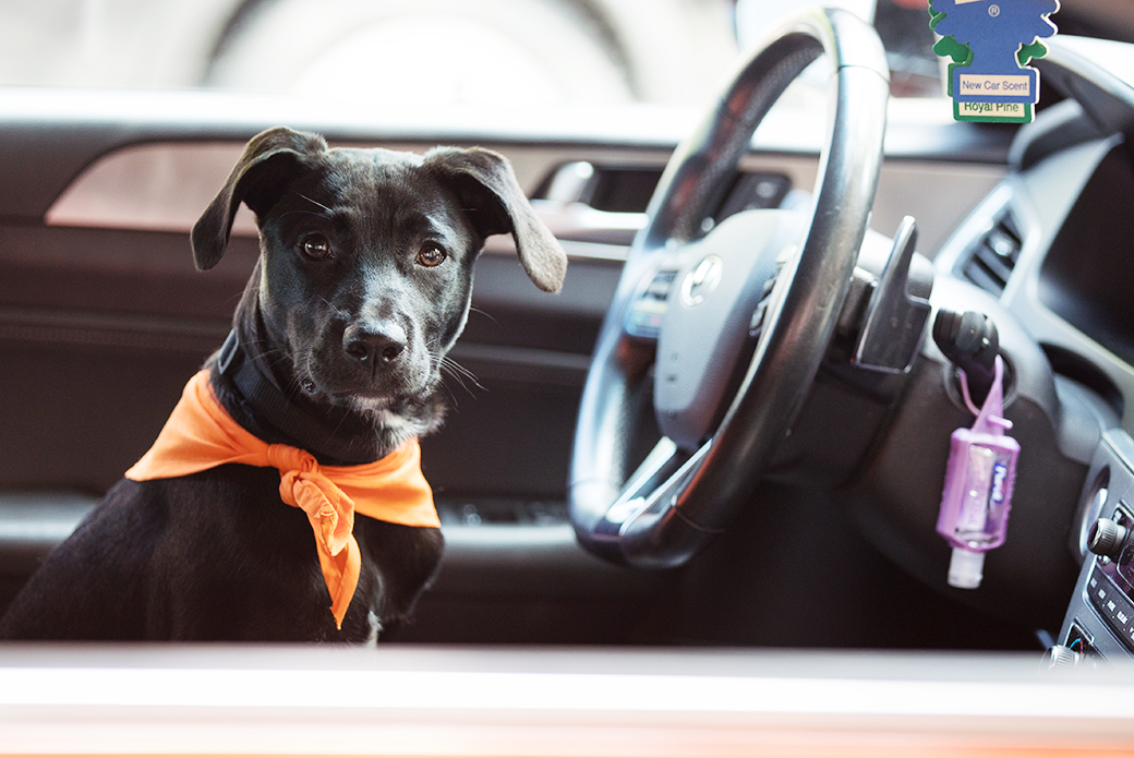 a dog in a car behind the wheel