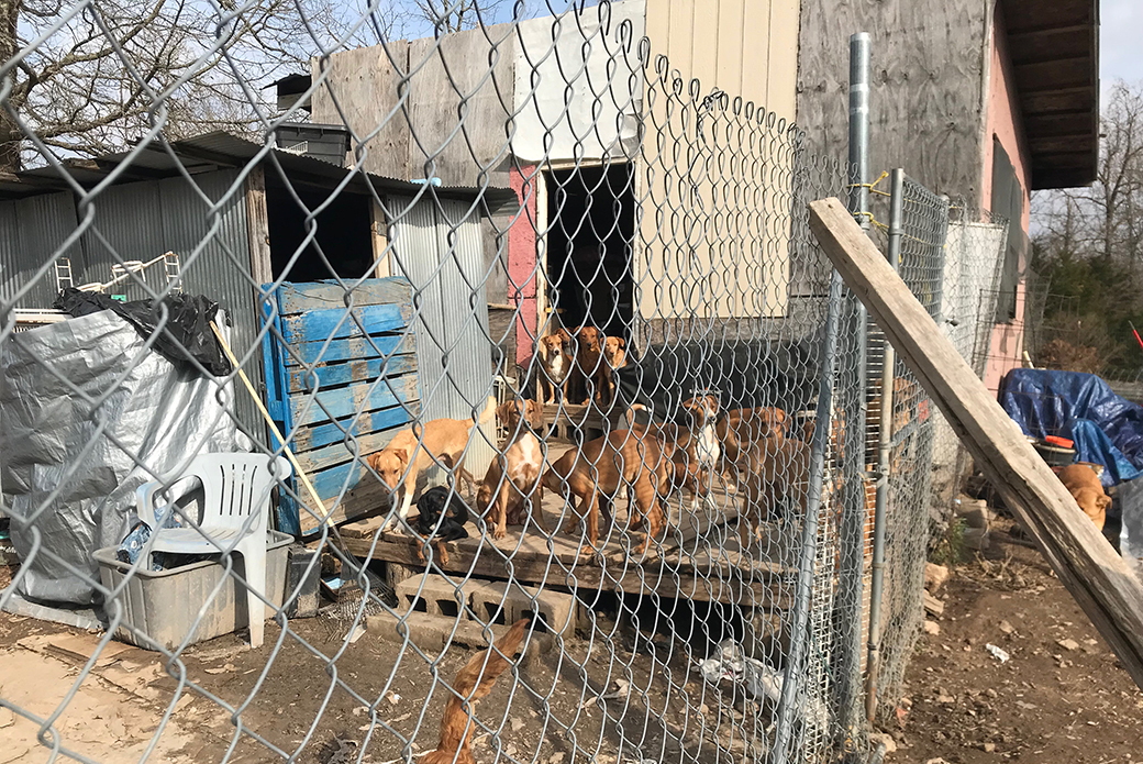 dogs behind a chain fence