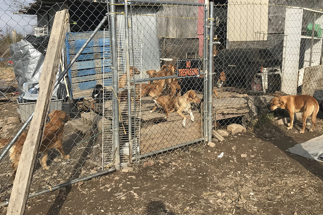 Dogs in a dirty kennel