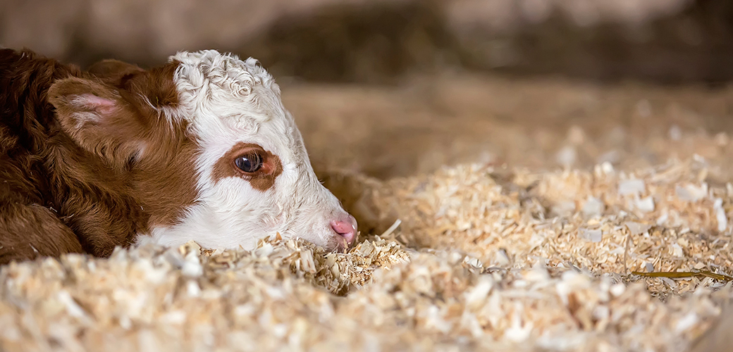 The ASPCA Calls on Government to Protect Downer Calves
