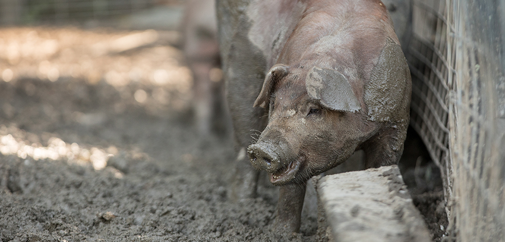 a pig covered in mud