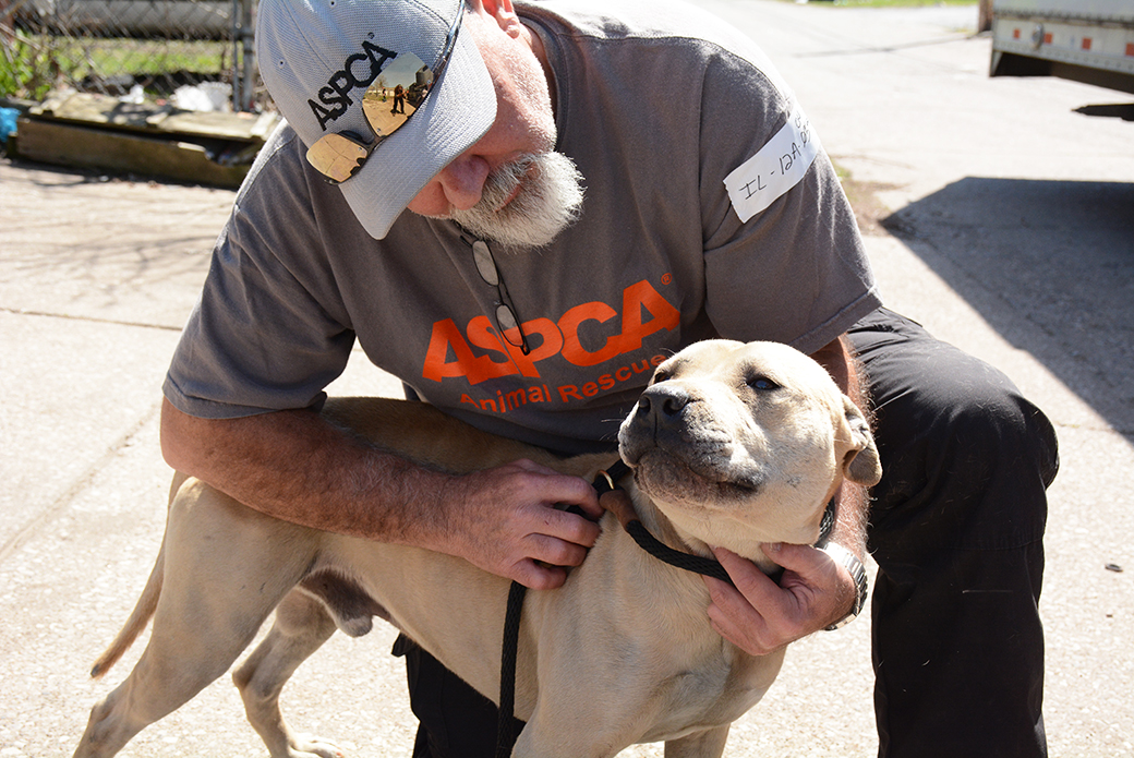 BREAKING: ASPCA Assists in Rescue of 64 Dogs from Suspected Fighting Operation