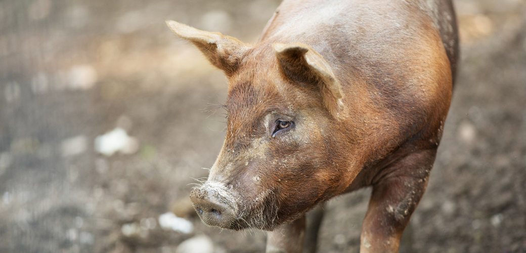 a sad pig