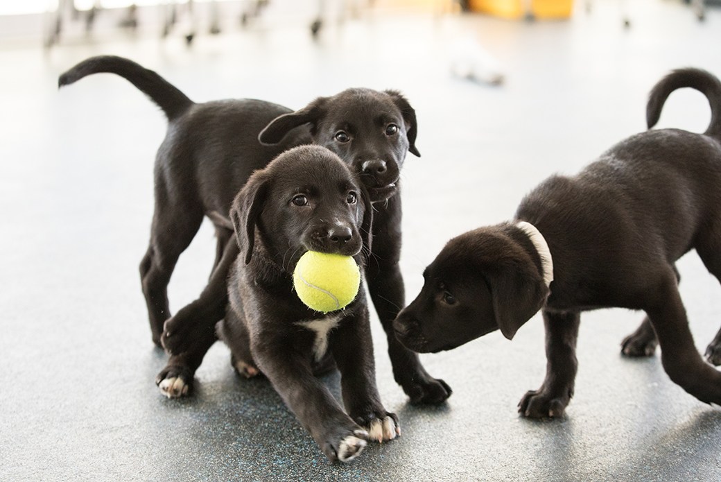 puppies with a tennis ball