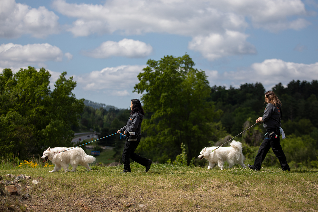 two samoyeds being walked by BRC staff