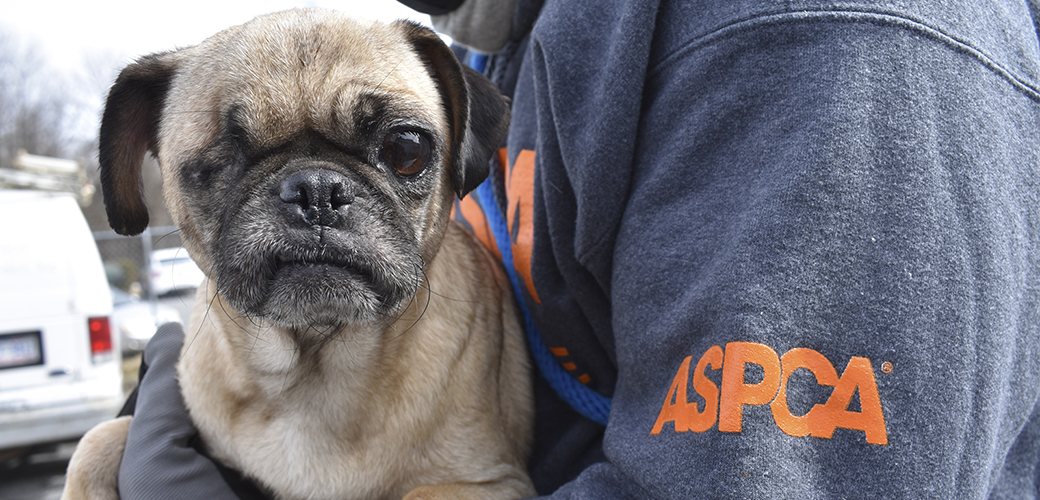 a rescued pug