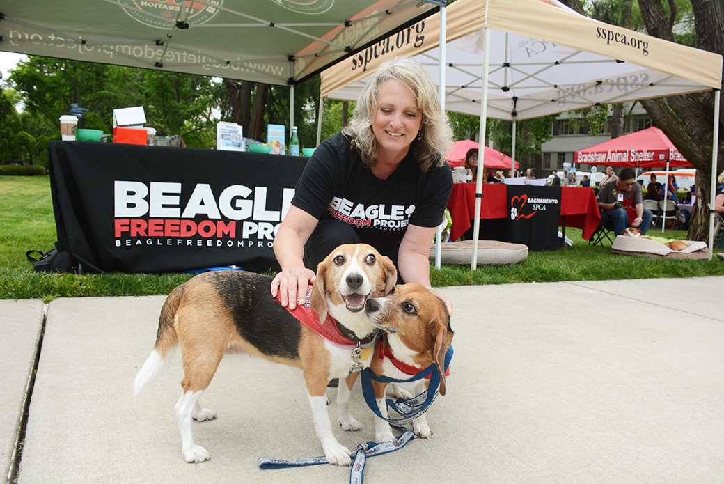 Rescued Beagles from Beagle Freedom Project