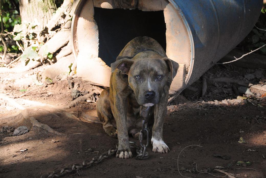 a sad chained dog
