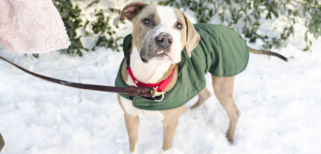 A pitbull in the snow
