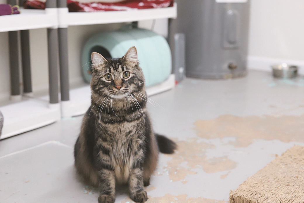 a medium hair tabby cat