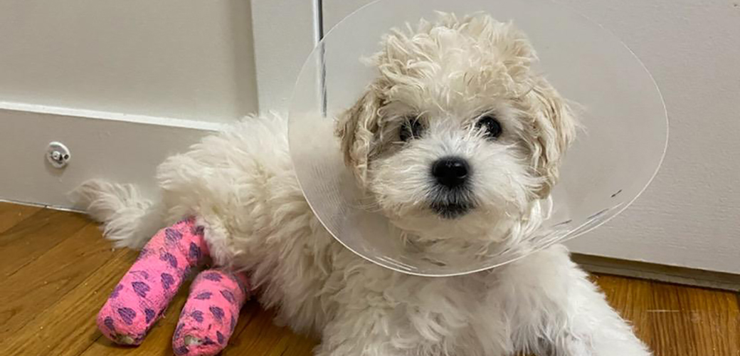 maltese puppy with pink leg casts