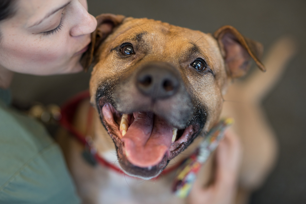 Orson, a brown pitbull, looking happy at the camera