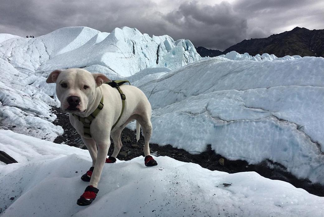 Buddy hiking on a glacier