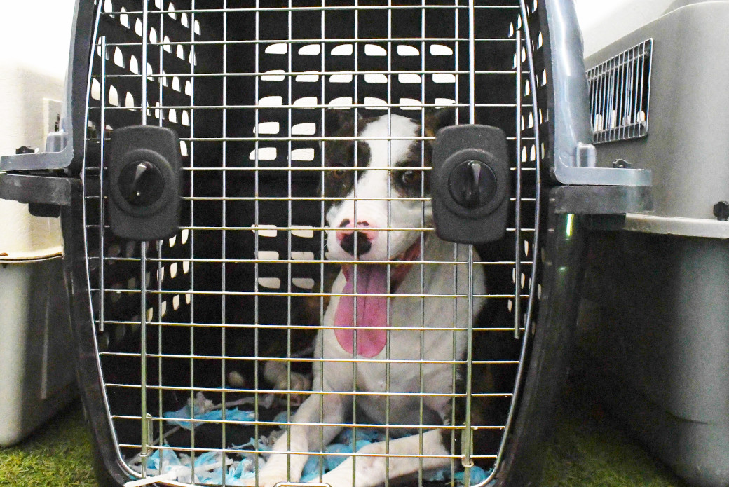 a dog laying in a crate with its tongue out