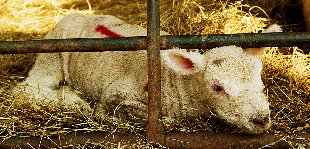 a lamb in a dirty pen