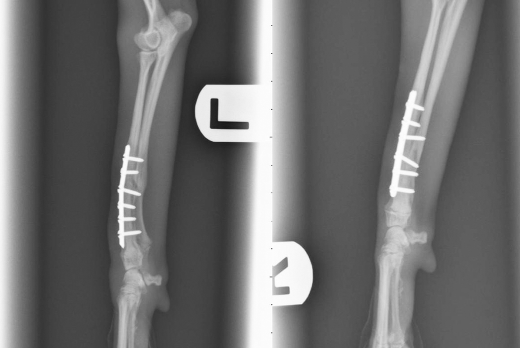 Doctors at the ASPCA Animal Hospital were able to repair Speedy's legs with bone plates and screws.