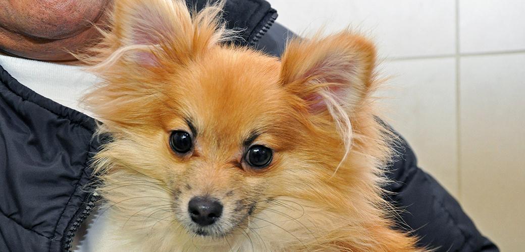 Speedy the Pomeranian