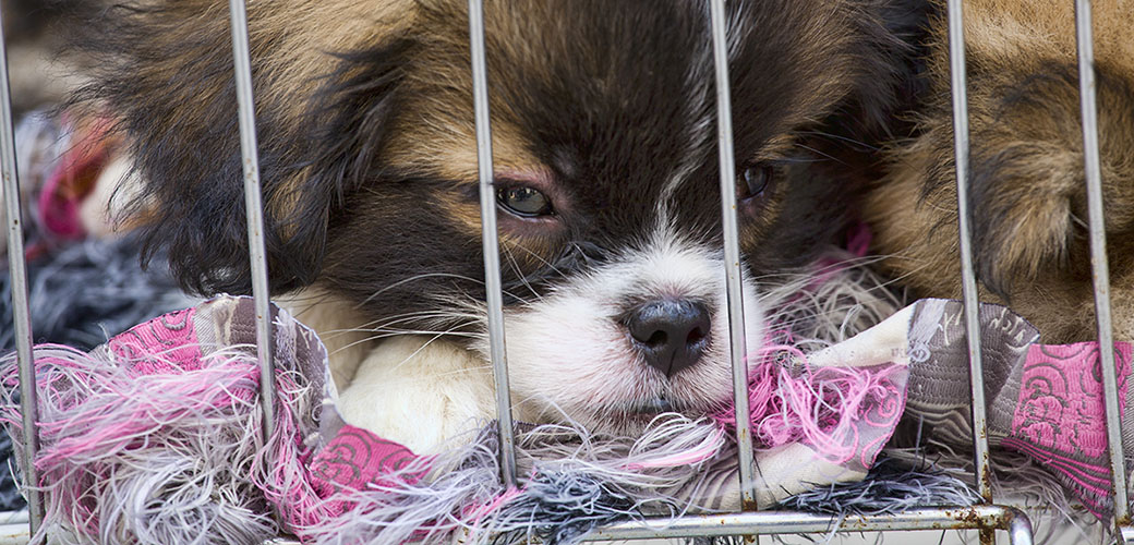 building awareness to animal abuse in puppy mills Illness and disease are common in dogs from puppy mills because puppy mill operators often fail to apply proper puppy mill legislation the federal animal.