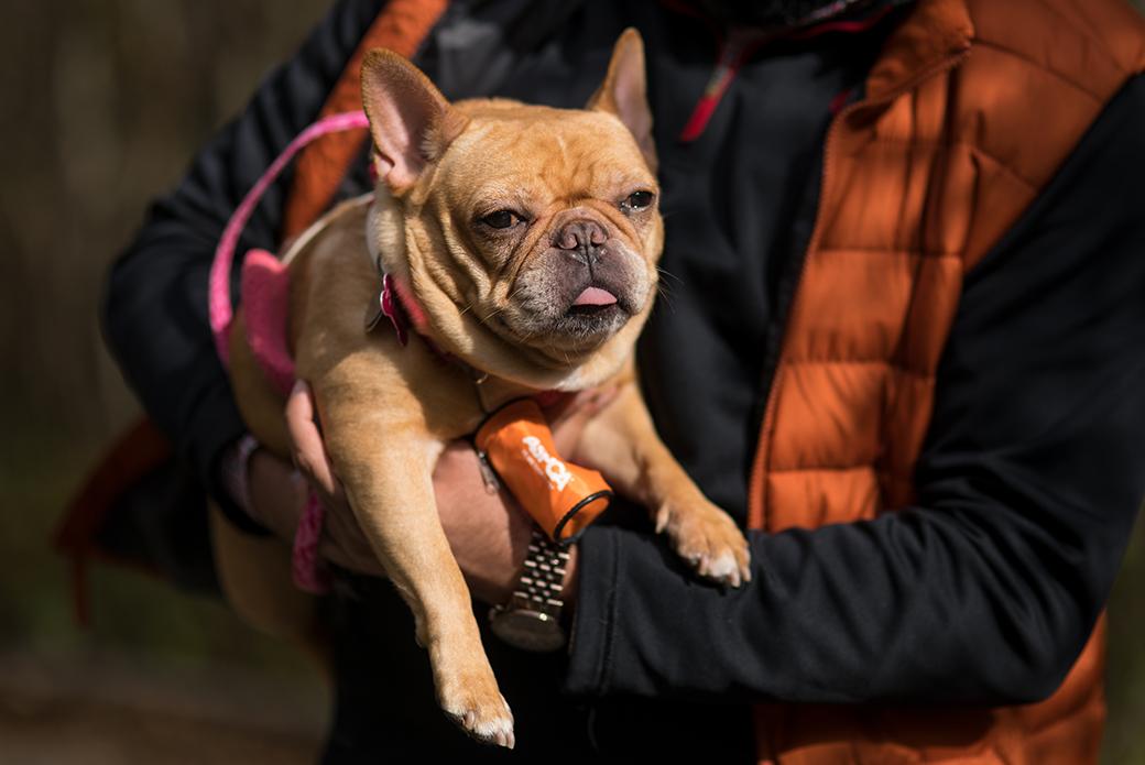a french bulldog