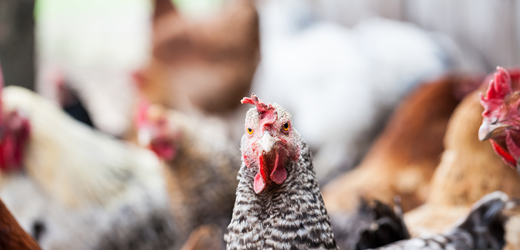 Major Animal Welfare Certification Program Pledges Higher Welfare Standards That Will Benefit Millions of Chickens
