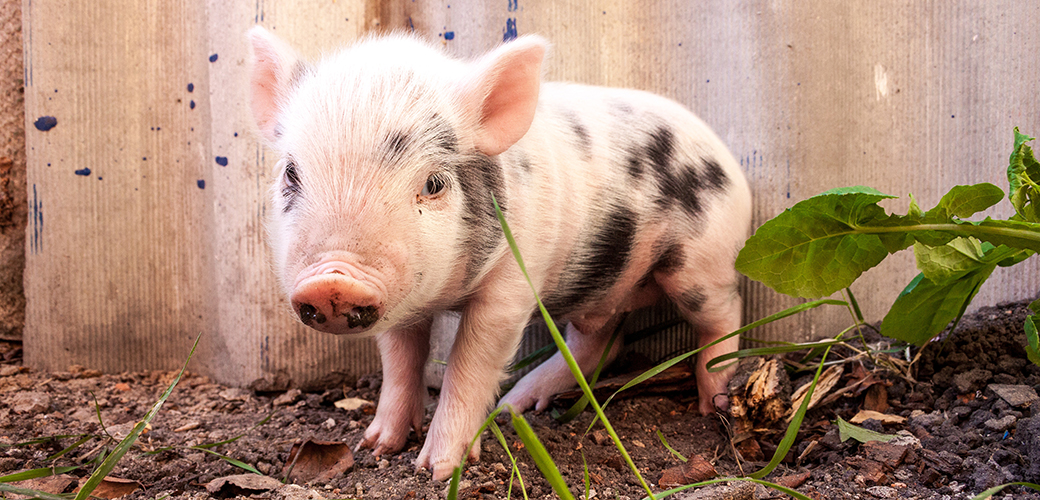 Historic On-Farm Animal Protections Face Threat in Congress
