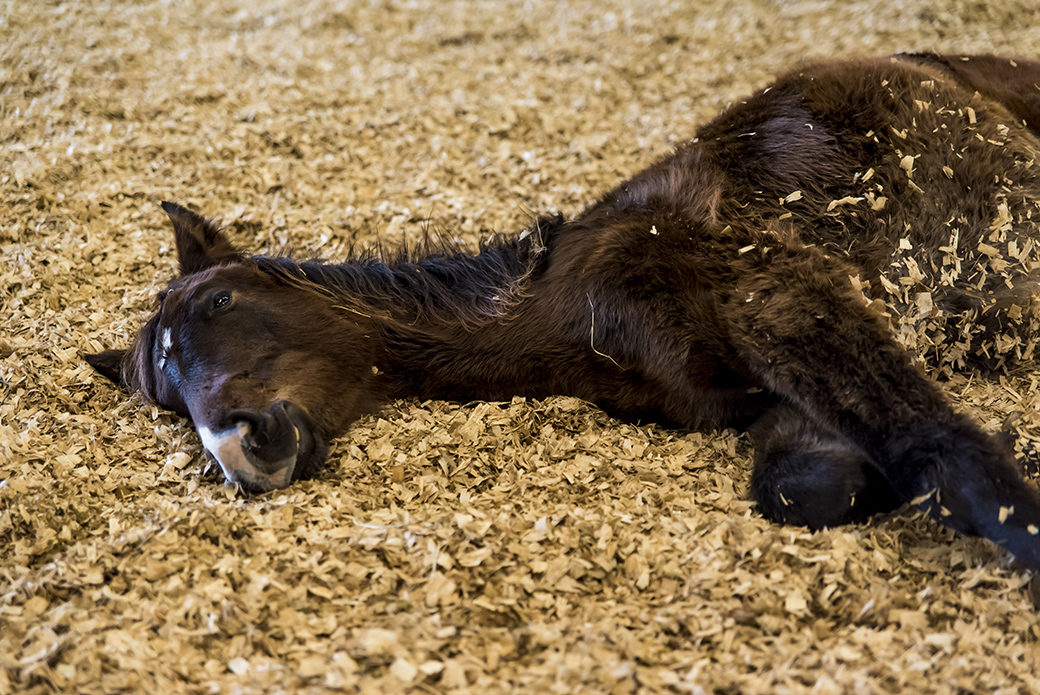 Horse laying in wood chips